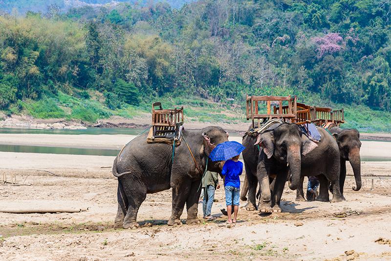 שיירה של פילים בתאילנד